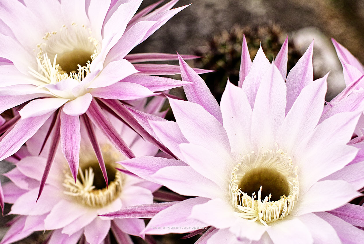Kaktus Blume